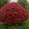 2.5米红叶石楠球、3米到3.5米红叶石楠球价格
