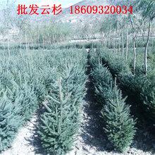 云杉树2.5米3米报价_甘肃云杉价格咨询图片