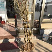 桃樹苗出售、桃樹苗供應圖片