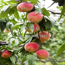 映霜紅桃樹苗價格及基地圖片