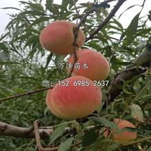 突圍桃樹苗產地圖片