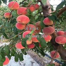 超早紅桃樹苗供應價格圖片