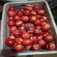 中桃3號桃樹苗批發價格圖片