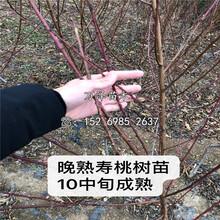 中桃3號桃樹苗供應圖片
