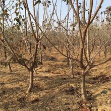 两年樱桃苗新品种图片