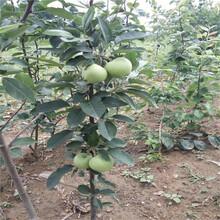 信浓红苹果苗售价图片