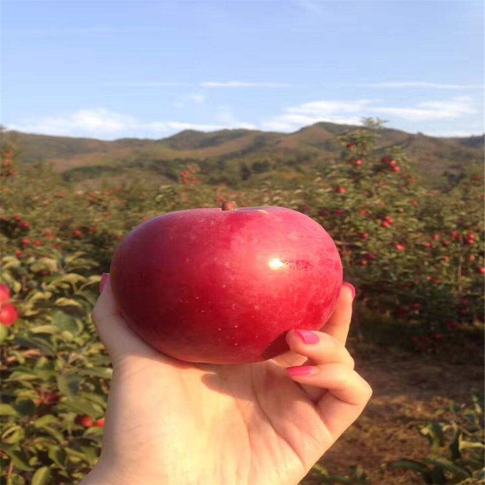 华硕苹果树苗出售、华硕苹果树苗批发价格
