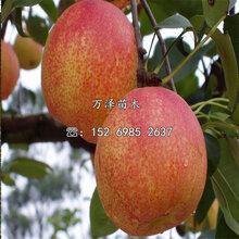秋月梨树苗价格图片