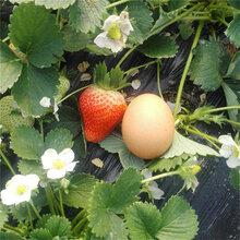 寧玉草莓苗批發價格、寧玉草莓苗價格及報價圖片