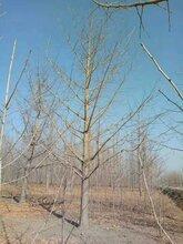 黑龙江银杏树种植基地图片