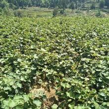 貴陽獼猴桃苗圖片