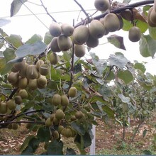 郴州獼猴桃苗價格圖片