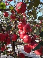 清远苹果苗种苗价格图片