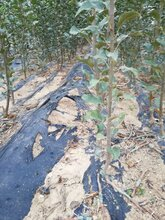 芜湖苹果苗种植基地图片