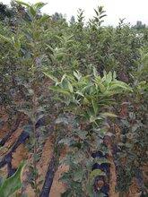 張掖蘋果苗供貨商圖片