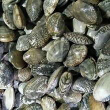 杭州花蛤图片
