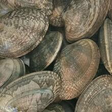 广州花蛤价格图片