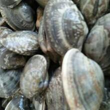 银川花蛤批发市场图片
