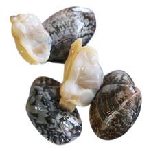 晋城花蛤图片