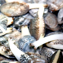 长春花蛤批发图片