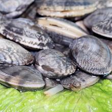 鹤壁花蛤价格图片