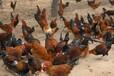 晉城土雞養殖場