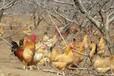 晉城土雞苗養殖