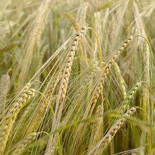 张家界牧草种子供应商图片