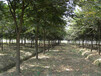 南昌櫸樹種植基地