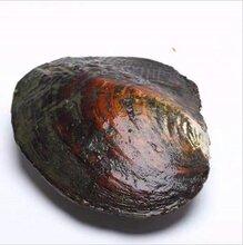 供应天然养殖淡水珍珠河蚌多珠蚌,单珠蚌,AK蚌鲜活河里养殖图片