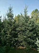 巴彦淖尔云杉种植图片