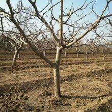 青岛山杏树价格图片