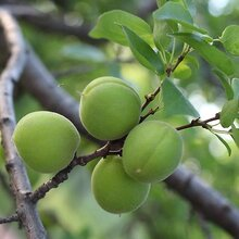 衡水山杏树价格图片