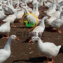 养殖)江西抚州鹅苗价格行情(青脚麻鸡苗基地——信息推荐图片