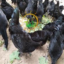 养殖)安徽桐城鸭苗价钱(珍珠鸡苗报价——_诚信服务图片