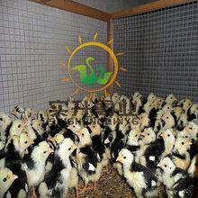 廣西百色鵝苗批發市場-泗陽鵝苗)歡迎光臨圖片
