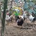 养殖)福建福州土鸡苗孵化技术(绿头野水鸭苗批发——制造商