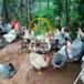 南平麻羽乌鸡苗孵化位置联系电话