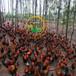 养殖)江苏苏州鸭苗孵化场(三元杂交鹅苗价钱——信誉保证