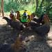 養殖)浙江杭州雞苗價格行情(紅瑤土雞苗價錢——格值得信賴