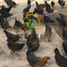 福建龙岩小鸡苗孵化价格、蛋鸡的鸡苗怎样选厂家直销