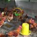 养殖)福建莆田半斤鸡苗供应(红头鸭苗市场——厂家客户至上