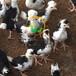 养殖)福建福州土鸡苗孵化厂(青脚红羽鸡苗价格——批发_值得信赖