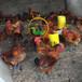 養殖)浙江杭州小鴨苗脫溫(脫溫紅羽380雞苗供應——服務至上