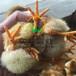 養殖)浙江杭州鵝苗批發價(七彩山雞苗價格——價格_誠信互利