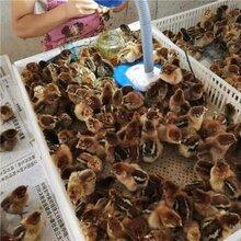 四平瑤雞苗價格報價-四平雞苗孵化廠圖片