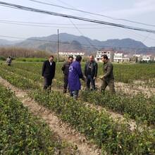 臨滄油茶苗種植圖片