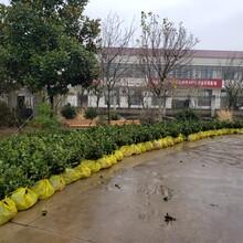 玉溪兩年生油茶苗種植基地圖片