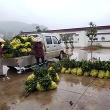 亳州油茶苗價格圖片