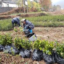 南京兩年生油茶苗基地批發圖片